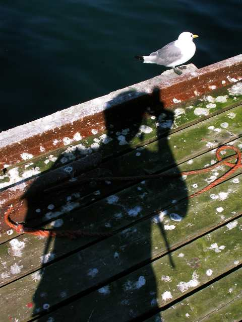 Photographing a Kittiwake